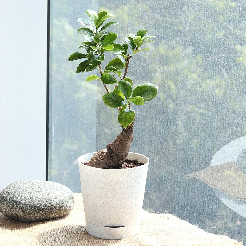 Vibrant Ficus Microcarpa