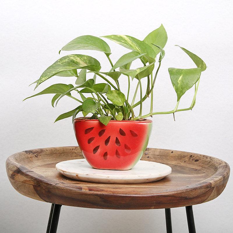 Watermelon Money Plant