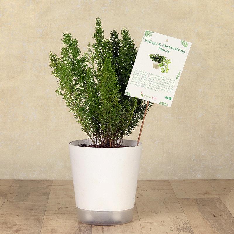 White Foxtail Fern Plant