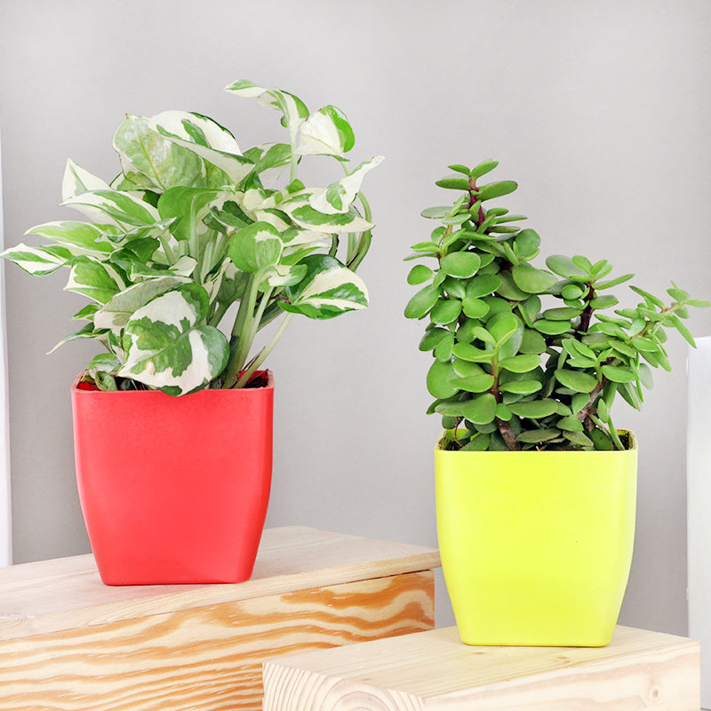 White Jade Combo - Good Luck Succulent and Cactus Plant Indoor and Outdoor in Blossom Vases