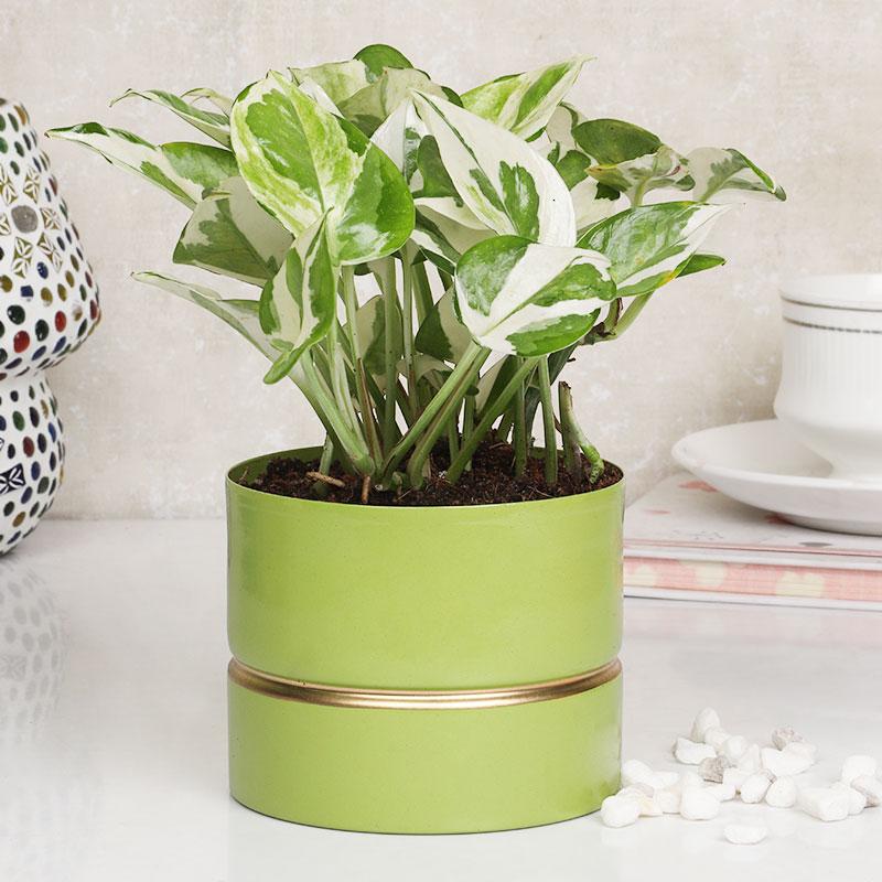 White Pothos Green Vase Plant