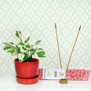 White Pothos Plant Scented With Incense Stick