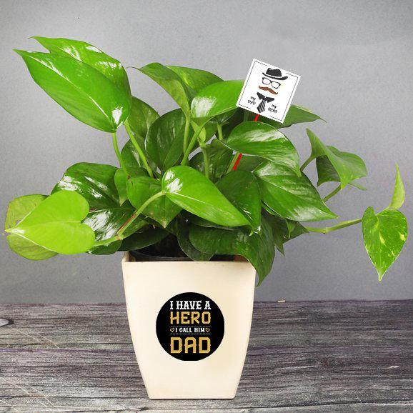 Money Plant in White Vase for Papa