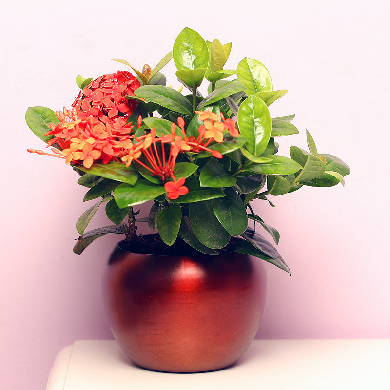 Ixora Plant in Metallic Vase