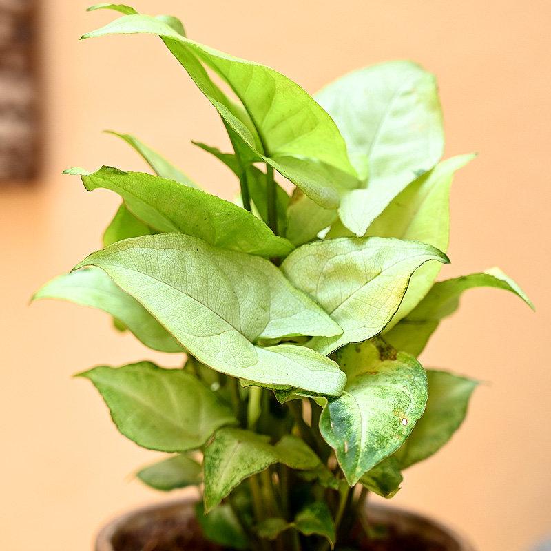Wood Vase Syngonium Plant - Foliage Plant Indoors in Wooden Geomatrical Vase