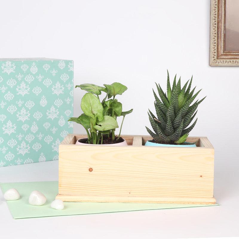 Woody Syngonium Haworthia Combo: Foliage/Succulent and Cactus