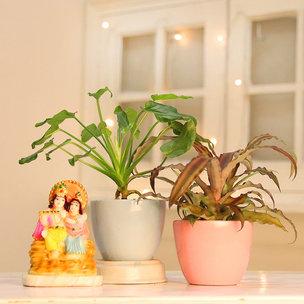 Xanadu and Cryptanthus Plant with Radha Krishna Idol