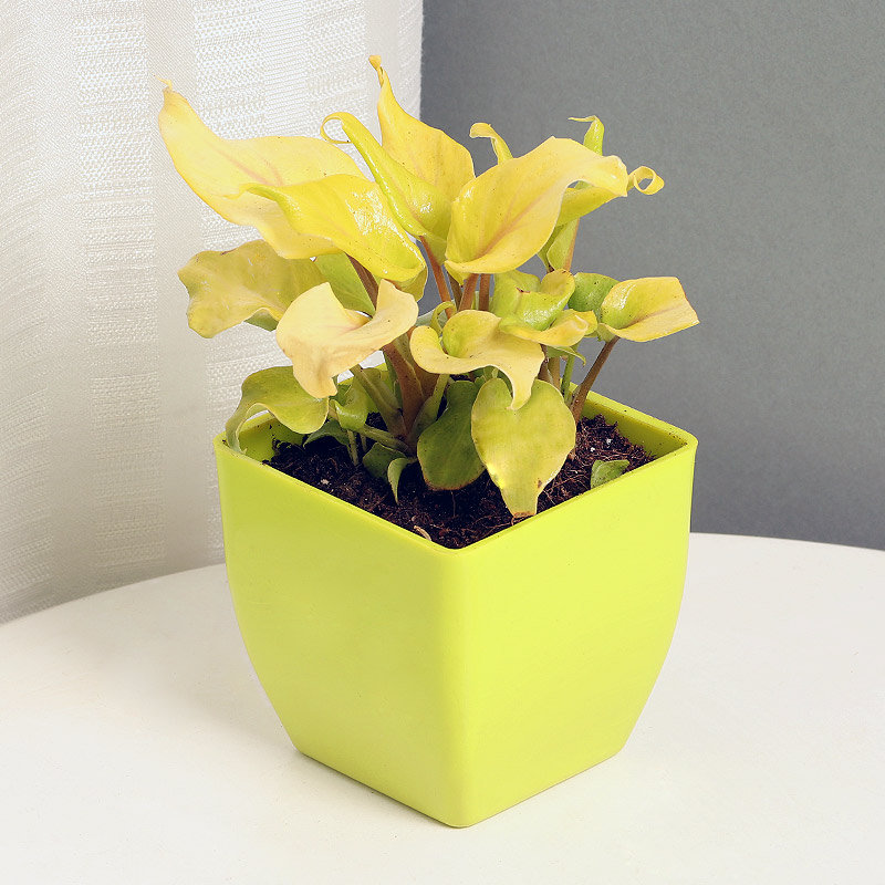 Xanadu Philodendron Plant Golden in a Vase