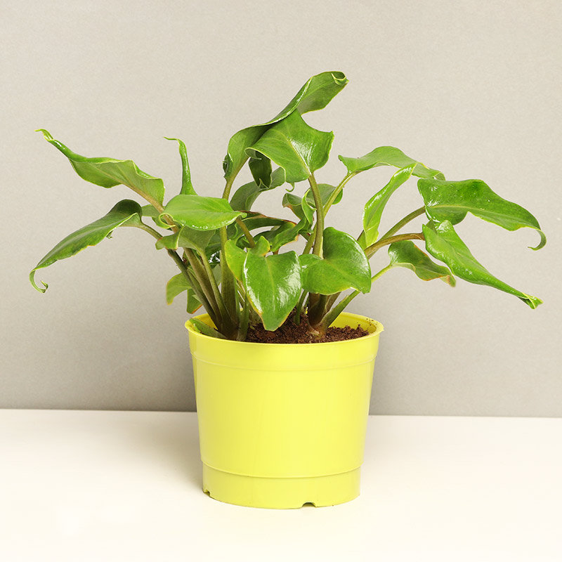 Xanadu Philodendron Plant Green in a Vase