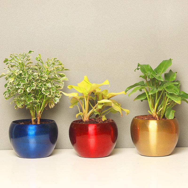 Xanadu with Aeralia Plant in a Vase