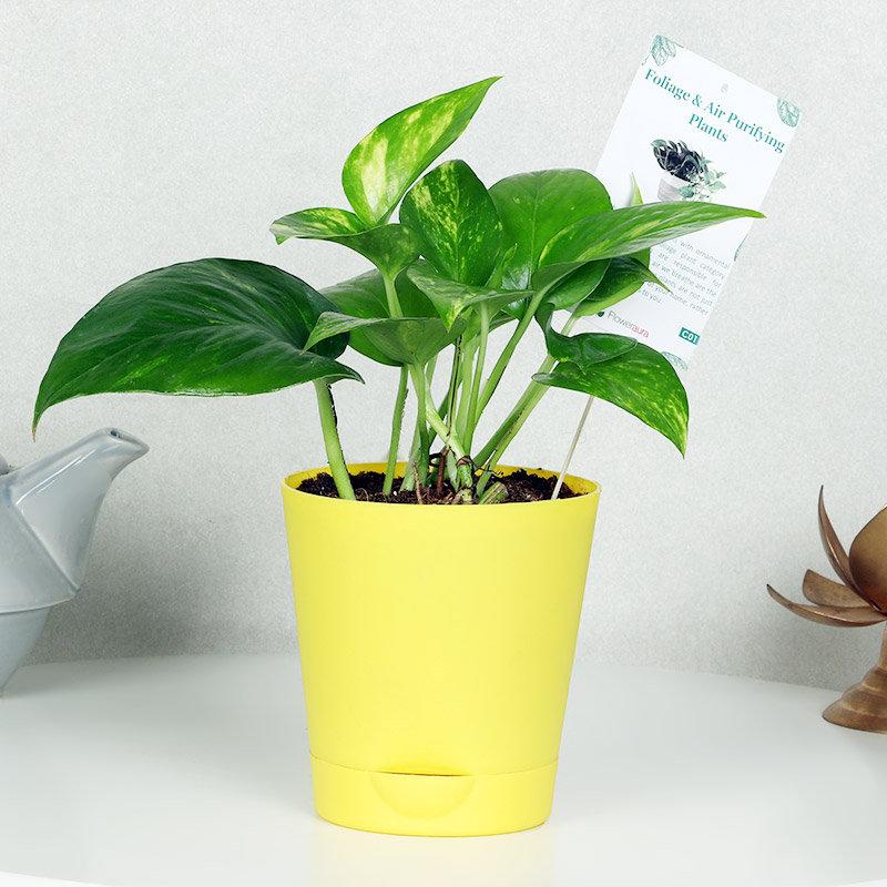 Yellow Vase Money Plant