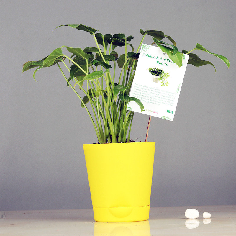 Yellow Vase Xanadu Plant