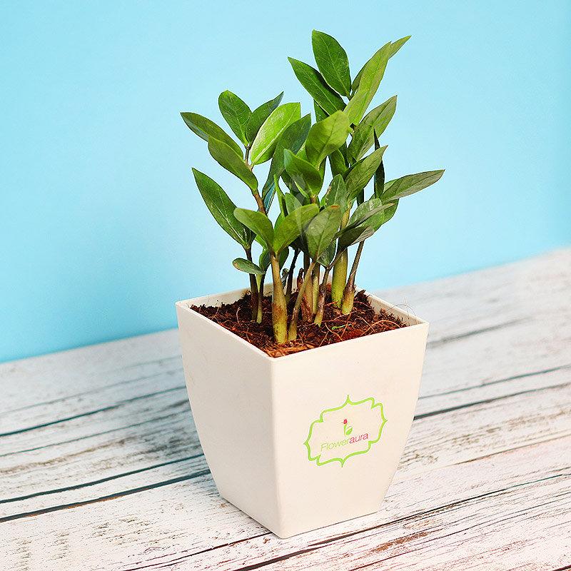 Zamia Plant In Chatura Pot