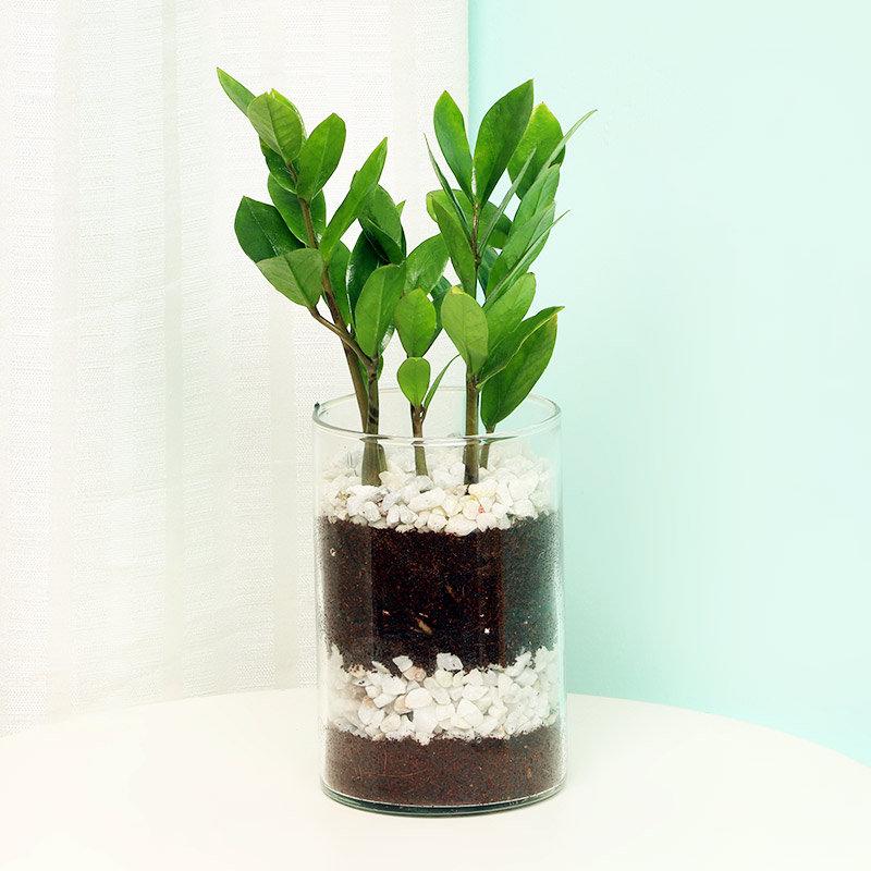 Zamia Zamioculous Plant in a Glass Vase